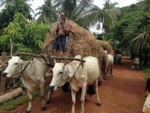 Brahman cows Cambodia